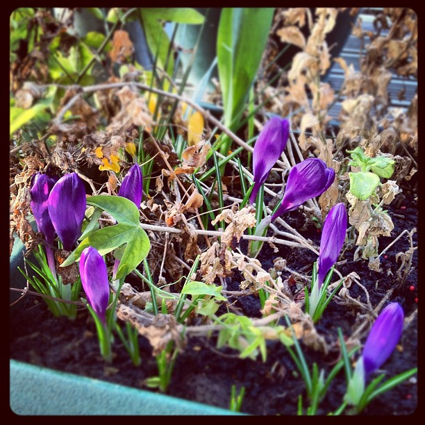 Spring Sprung Purple Flowers
